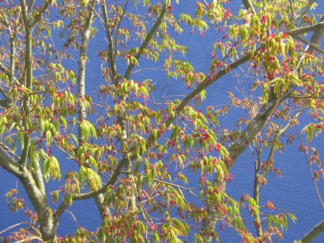 Maple on blue