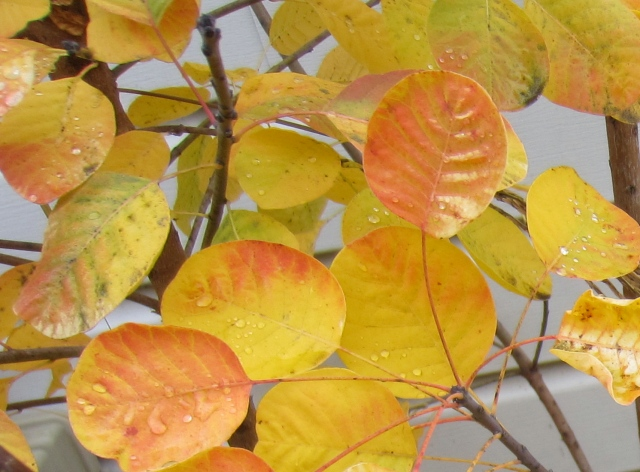 The yellow fall foliage of  my Cotinus coggygria 'Golden Spirit' make a great substitute for absent sun rays.