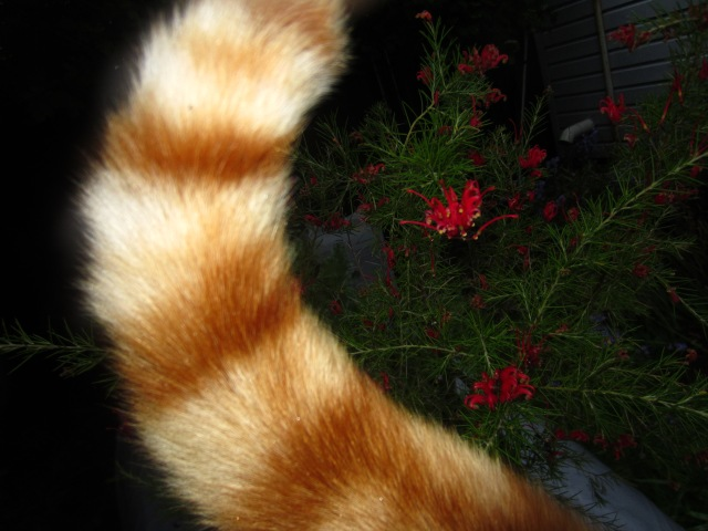 I really tried to photograph the Grevillea 'Scarlet Sprite' which is still sitting in its pot, unplanted, but my furry companion was doing his best to block my view.