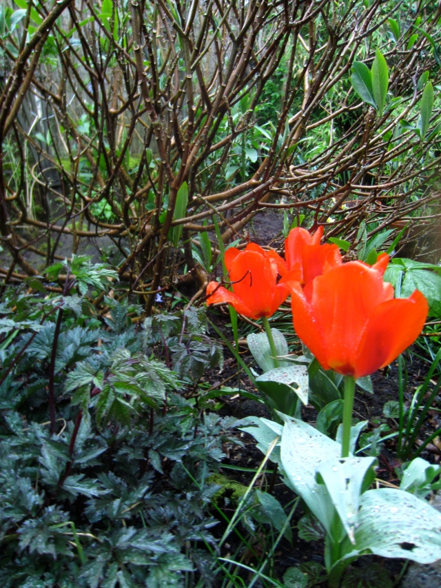 The same tulips against the branches of the Edgeworthia. The dark foliage of Bugbane 'Hillside Black Beauty' in the foreground.