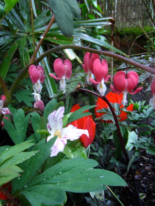 Dicentra 'Valentine', a Trillium grandiflorum, and tulips in the background.