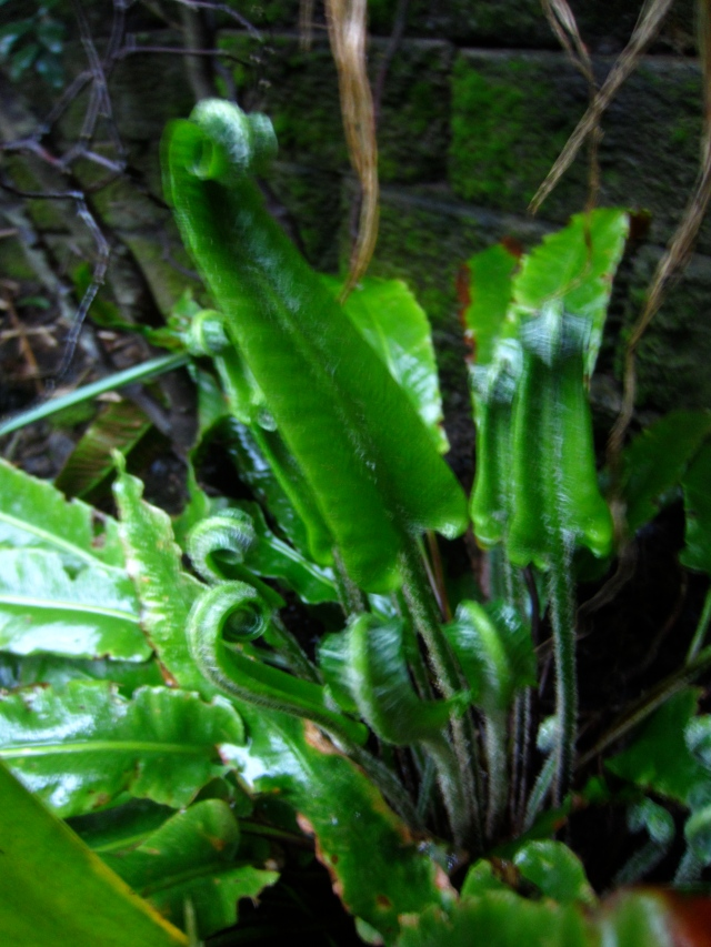 Out of focus Hare's Tongue fern unfurling. So graceful...
