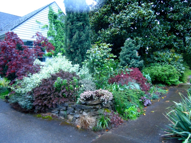 Moving up to the front yard. It brings to mind someone wearing a bra a couple of sizes too small. Can you say 'voluptuous'? It almost makes me expect a strap somewhere to break. Many of these were planted one of our first years in this house. I think new Oregonians pretty much always underestimate the rate at which things grow here. I know for sure I did...