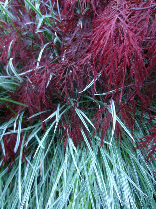 I like how this variegated grass weaves through the red leaves of the Red Dragon maple.