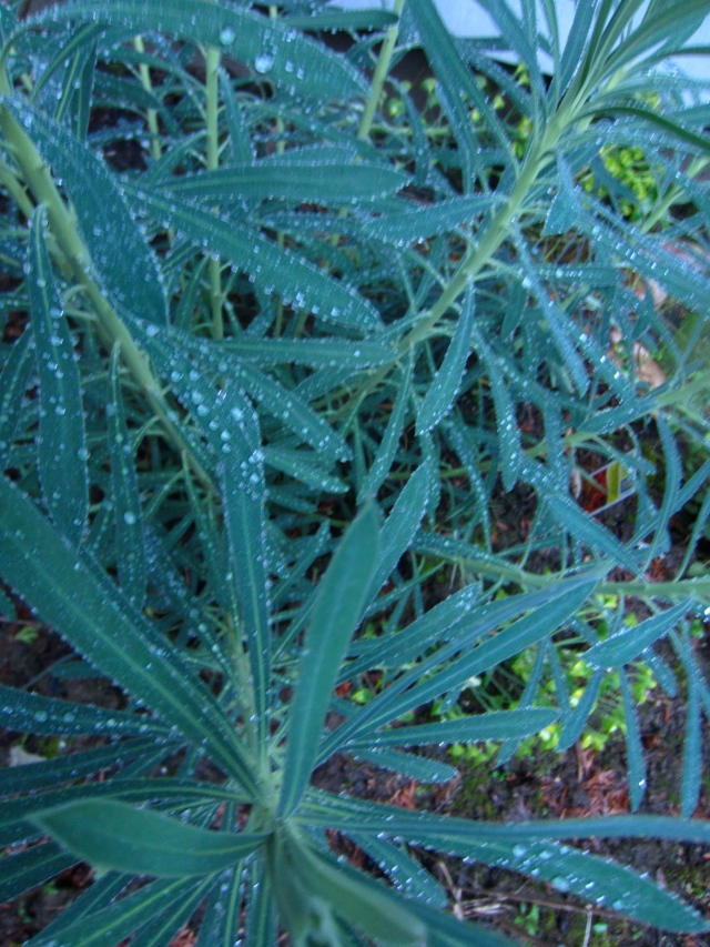 Raindrops on the Euphorbia wulfenii, which is looking mighty blue in the evening light.