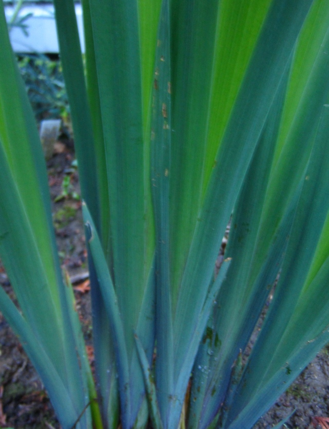 I love the new growth of Iris Gerald Darby - stunning!