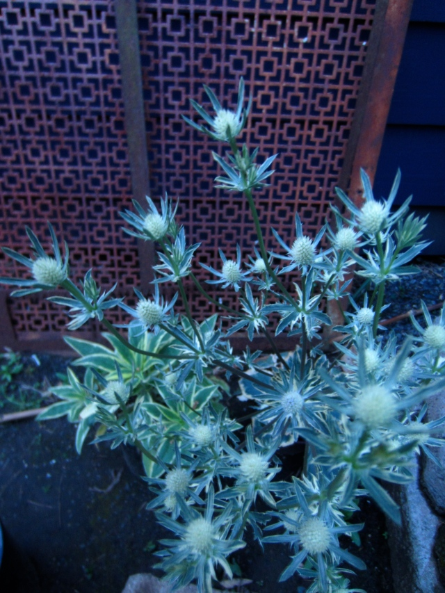 A variegated Eryngium lighting up the night in the fading light of evening.