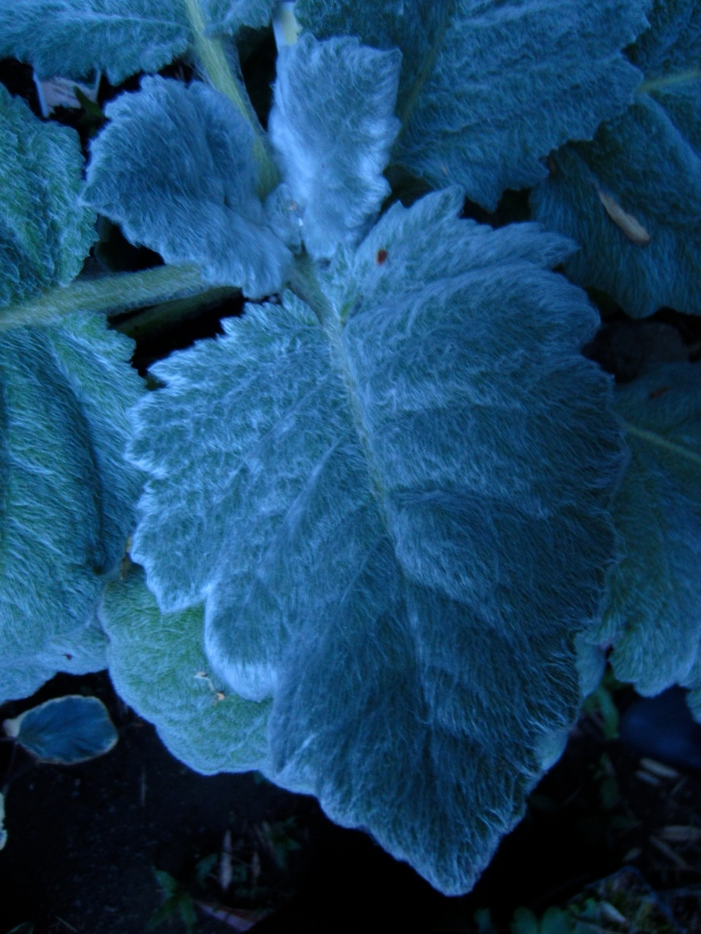 Another photo of the same plant, but this time taken in the blue glow of dusk.