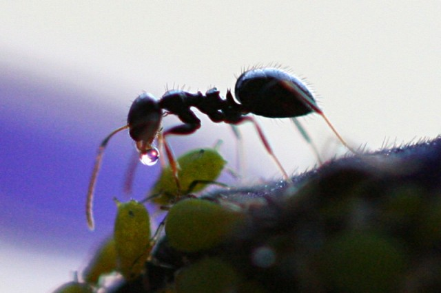 Ant milking honeydew from an aphid. Photo courtesy of Wikipedia.