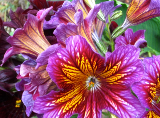 "With the winter we had, we technically had lots of unexpected ""annuals"". I don't often go for those actually sold as annuals , but here is a new one (to me), that I couldn't resist - a Salpiglossis. You can learn more about it here."