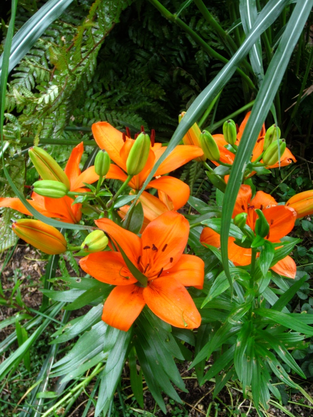 More Asiatic lilies. I am amazed at how shade tolerant they are. I'm pushing them pretty hard, and they are still performing!