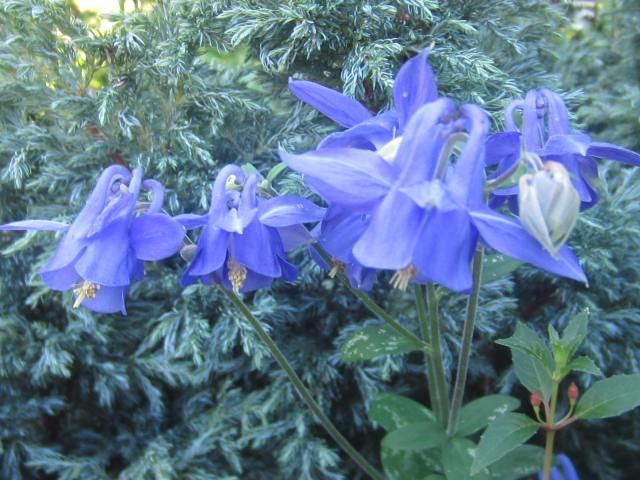 ... a blue variety with the more traditional bloom form,