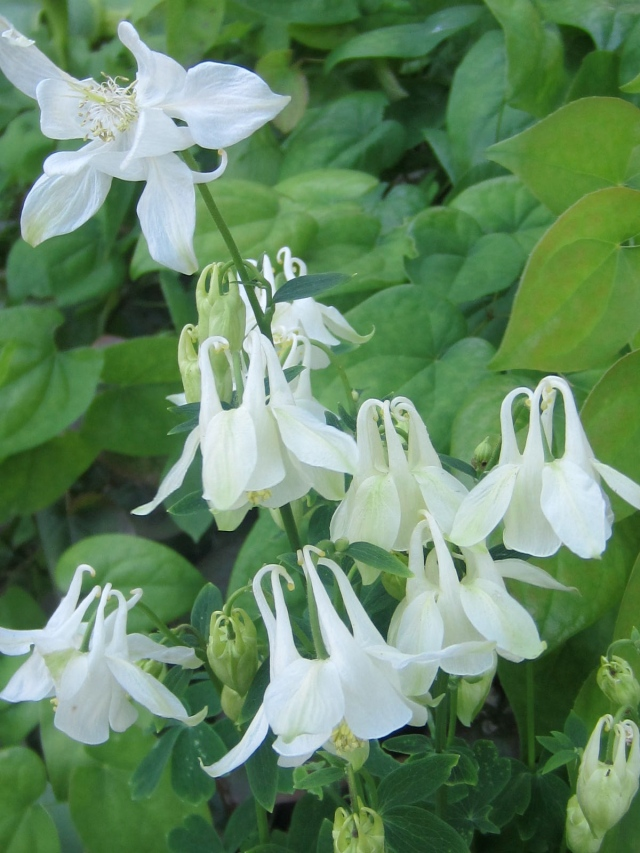 ... and a snowy white variety with the same traditional flower form.