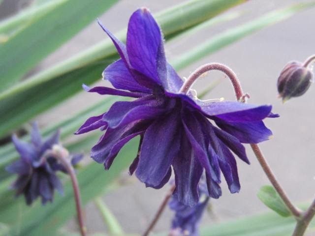 """Another marvel that suddenly occurred, is the masterful blend of Black Barlow with the blue one. Here the form of the flower has taken on a little of both - the fuzzy, free-wheeling shape of the Black Barlow, while still retaining some of the """"lantern"""" elegance of traditional Columbines.  And, the rich, dark purple color is to die for. So cool!"""