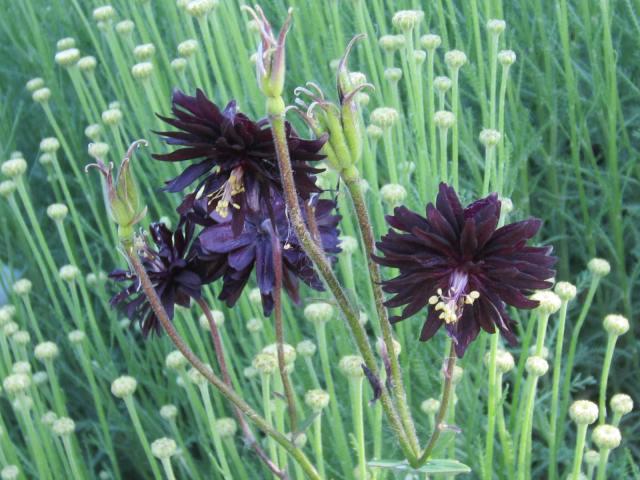 ... the fuzzy, black dahlia-like blossoms of Black Barlow,
