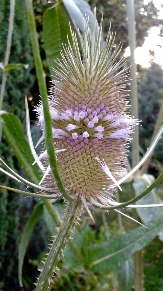 Oh yeah - I almost forgot! The Teasel I wrote about a few weeks ago is blooming.  Kind of endearing, in an ugly duckling kind of way. :)