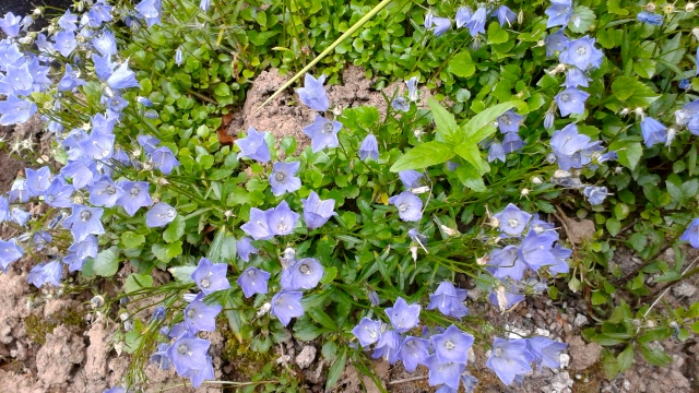The little blue bell ground cover never fails to make me happy!