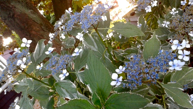 The last photo of the day is a Hydrangea tricolor that - amazingly - seems to do okay under that massive tree.