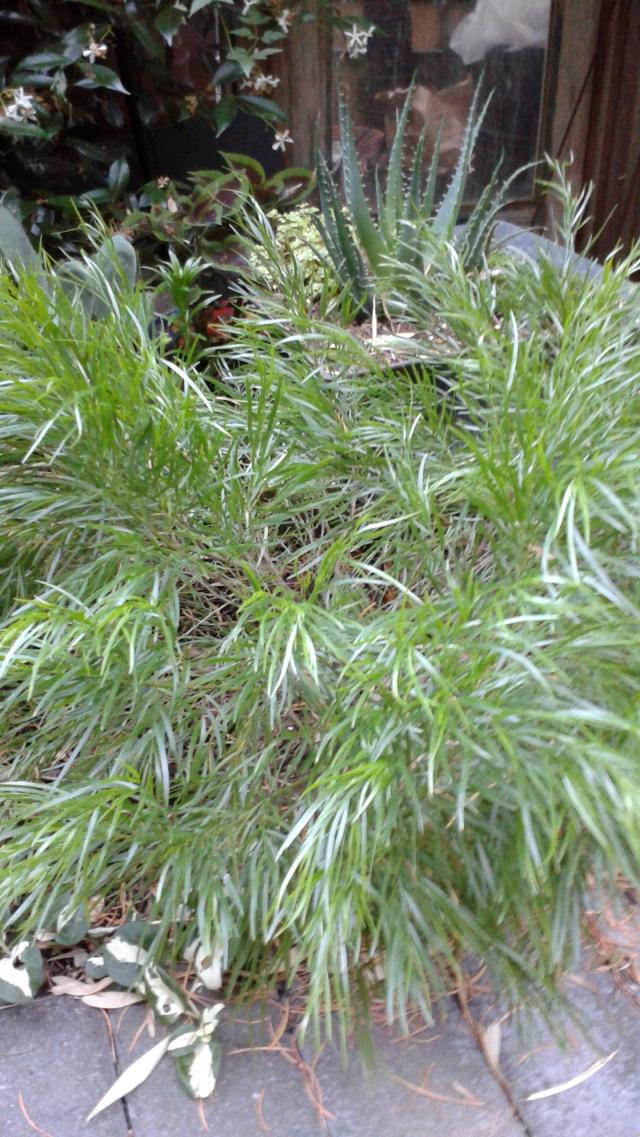 Acacia cognata 'Cousin Itt' - oh, how I love that soft texture!