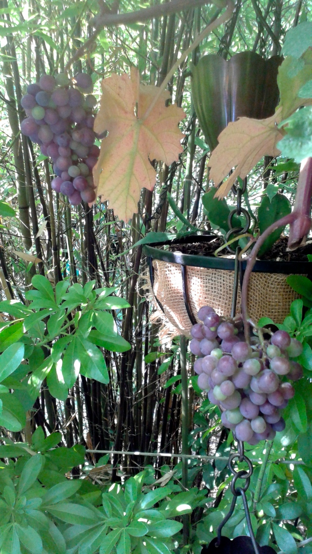 The grapes are ripening.