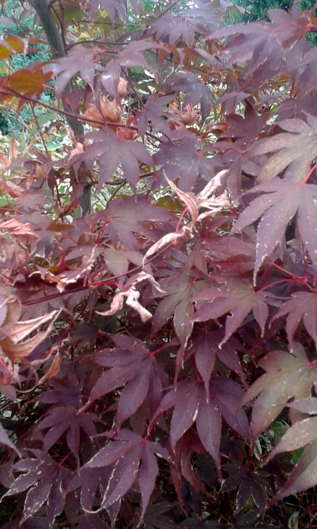 My Bloodgood maple did not exactly fare well in the heat. It's been in the ground for a few years, and  with the exception of an occasional deep soak, I usually pretty much leave it to its own devices. I don't think I've ever seen it so crispy.