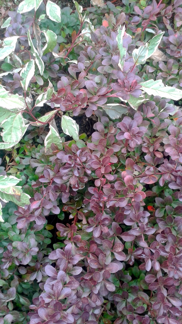 First out is the Barberry with nary a sign of stress on its red leaves. Not so the Dogwood in the background, whose leaves are yellowing prematurely. No surprise there - they do like their moisture...