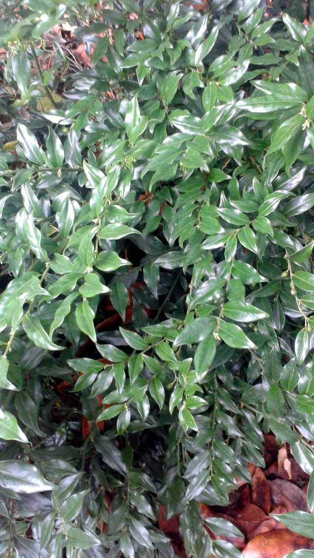 The Sarcococca confusa looks as glossy green as ever. Mind you, it lives in pretty deep shade.