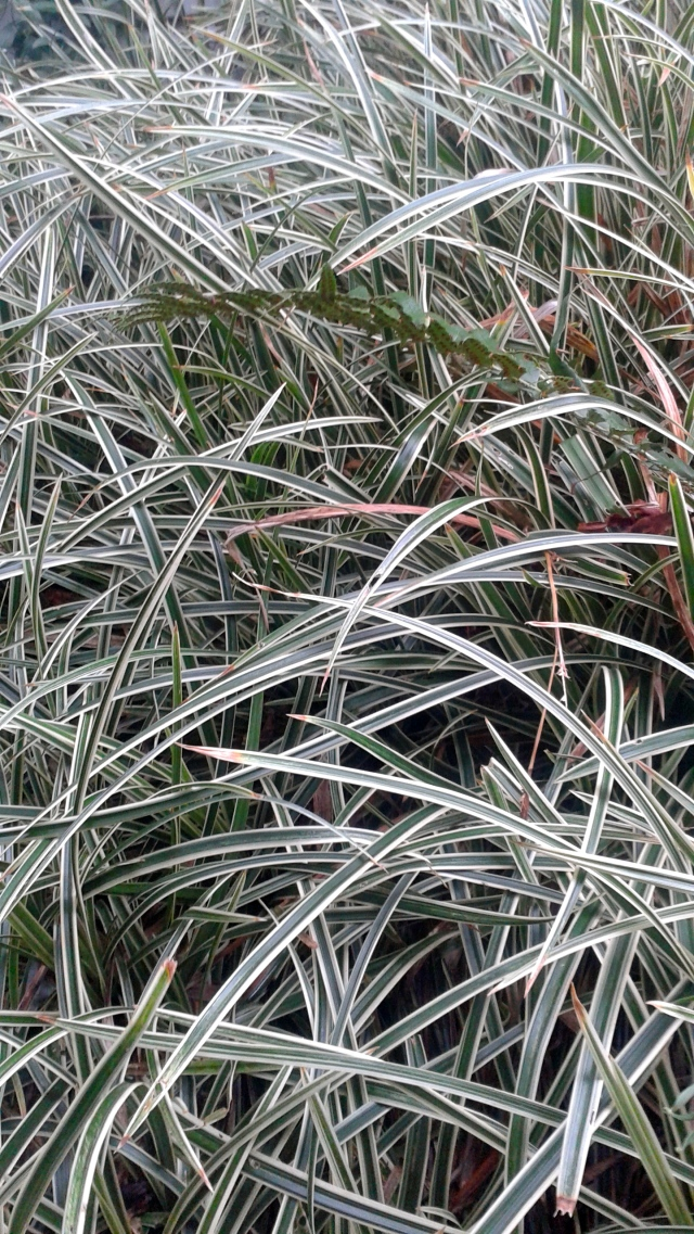 I really appreciate the iron constitution of Carex Ice Edge. I really don't give this plant enough credit. It is a rock star!
