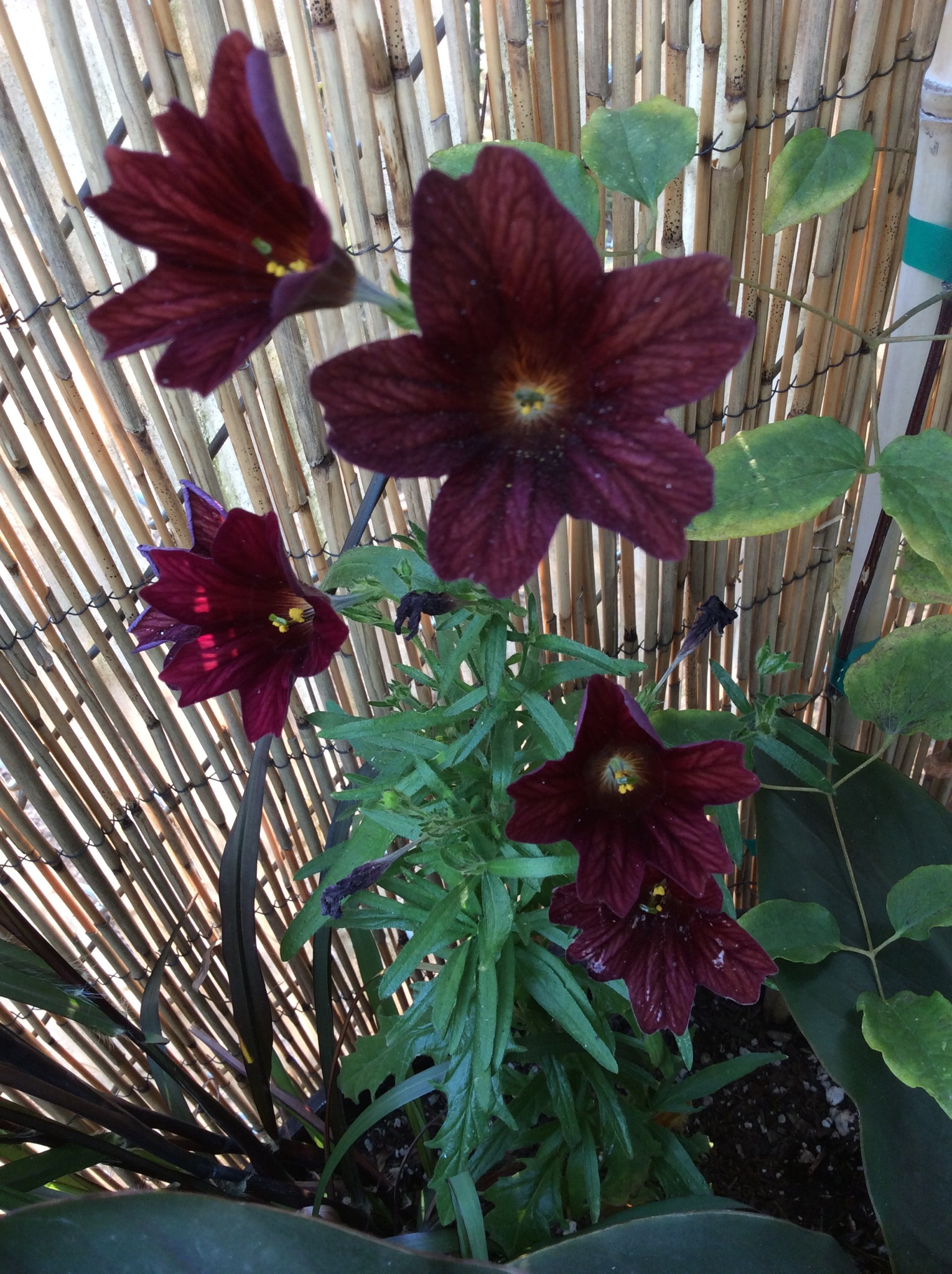 Dark red Salpiglossis.JPG