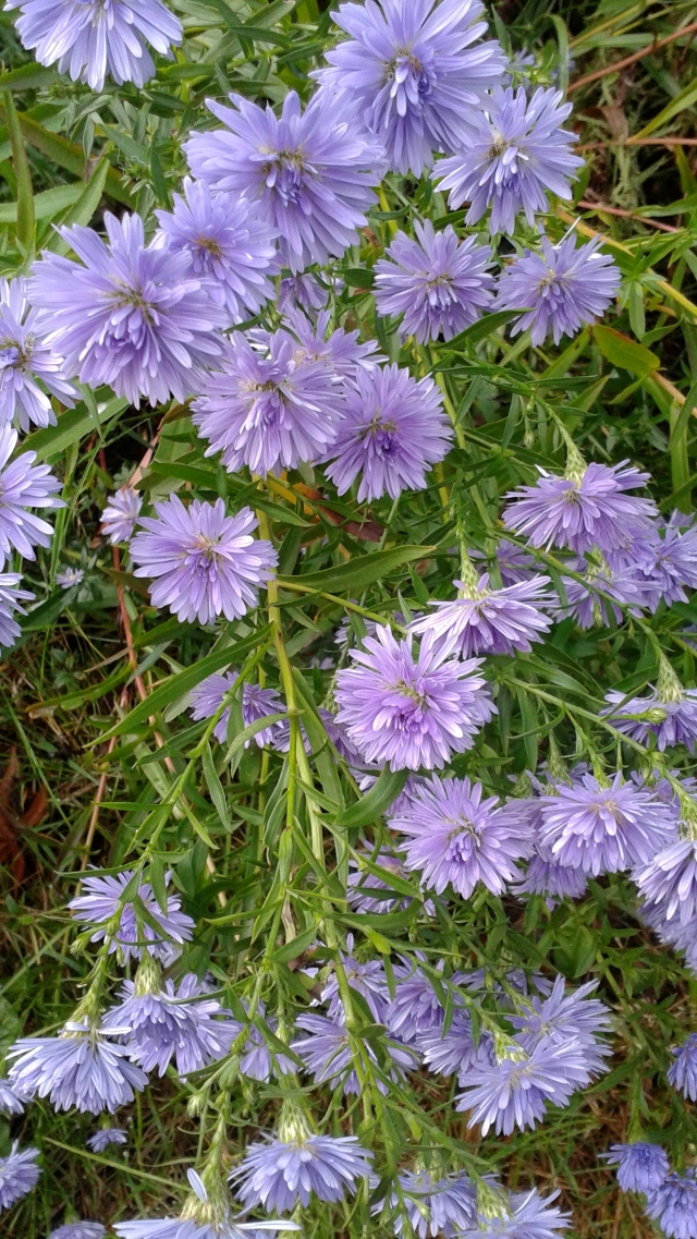 Asters!