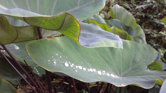 The Colocasia makes the same pretty pearls.