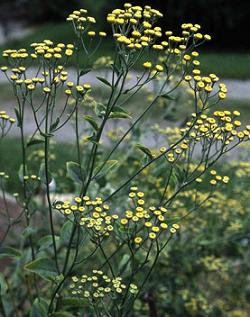 The sunny, yellow button flowers rise above the gray-green foliage. Image courtesy of Asiaherbs4u.