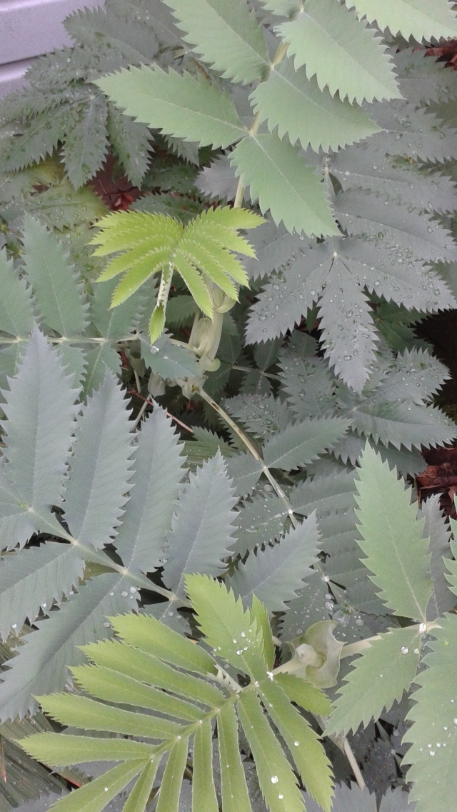 A definite foliage favorite  - my Melianthus. I moved it yesterday, so today it is not looking quite as happy. Despite this, my hopes are high for a comeback this spring - it got one of the best spots the house has to offer!