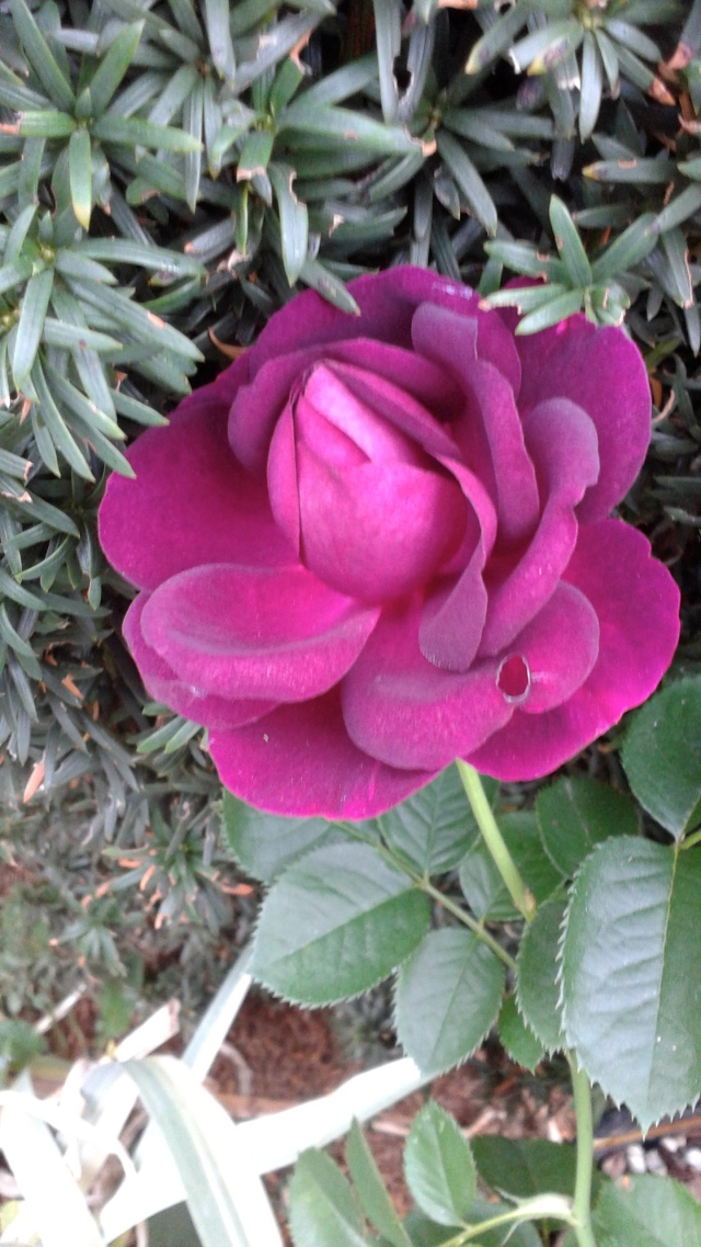 Another rose - Twilight Zone. Cool color, and great fragrance!