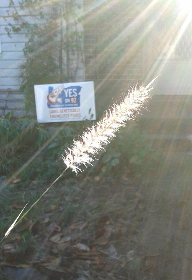 A lone flower of Pennisetum 'Karley rose' catching the light. The recent election battle to label genetically engineered foods was an encouragingly close call. At last count (and they aren't done counting yet), the Nay-sayers are only up by a little over 6,000 votes. And, this is after Monsanto, Dow Chemical, DuPont, and all the rest of the Chem-Ag giants spent over $20 million to defeat the Measure - making it the most expensive one in Oregon's history. We'll get it next time - I have no doubt. My neighbor and I pledged to keep our signs up and keep educating people on the real facts until we vote again, two years from now.