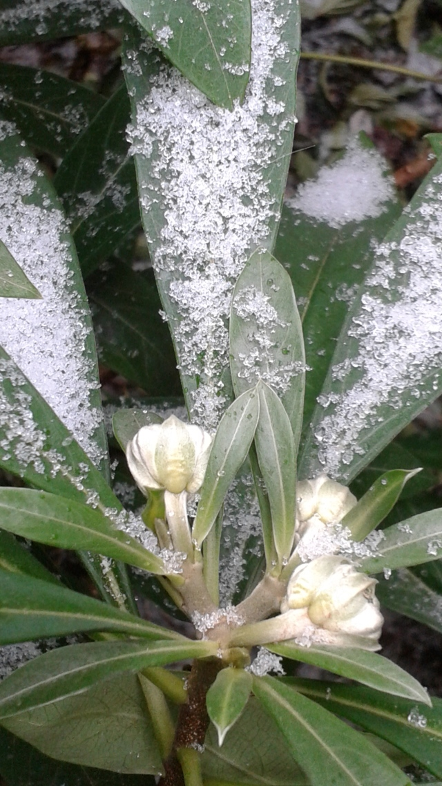The buds of my Edgeworthia dusted in snow from Thursday. They still look good - we'll see how well they fare for the rest of this winter. I really do miss its fragrant, sunny yellow flowers in the spring if winter treats it too harshly.