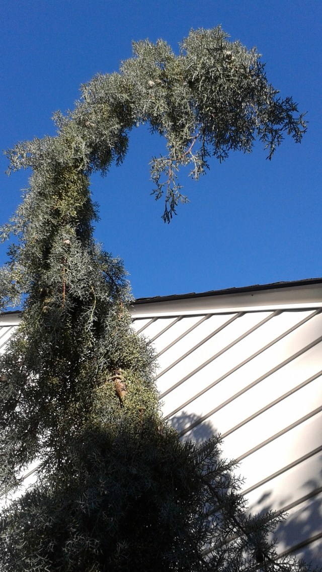 Another one that won't let a little cold bother it is the Arizona cypress 'Raywood's Weeping'. It was planted a week ago. Remaining upright during the howling wind gusts was its main problem - not the icy temperatures.