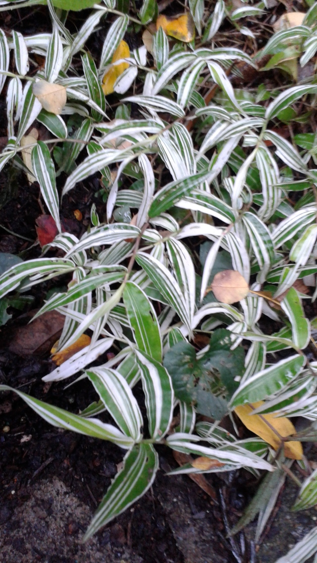 Don't even recall what the name of this one is, but I'm pretty sure it's gone. This is an annual that I tested out this year. I will be sure to play with it again next year - I love its striking variegation!