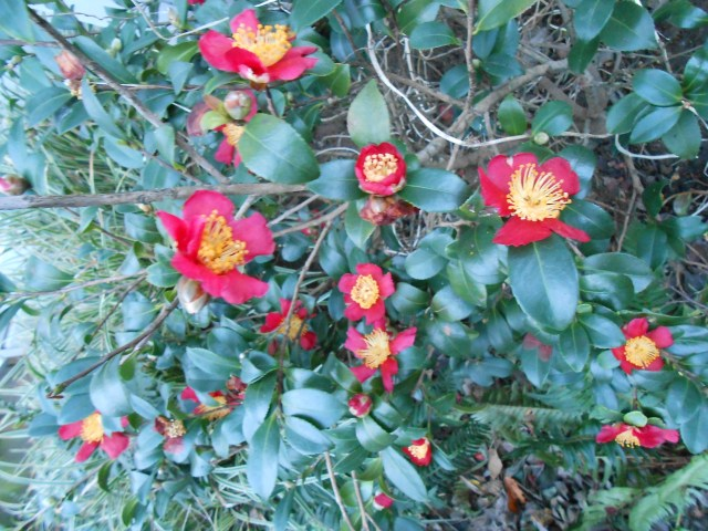 My Camellia sasanqua 'Yuletide' is still going strong - just in time for Yuletide. It was blooming for last mont's Bloom Day as well, so sorry for the redundancy. Great plant for longevity, though!