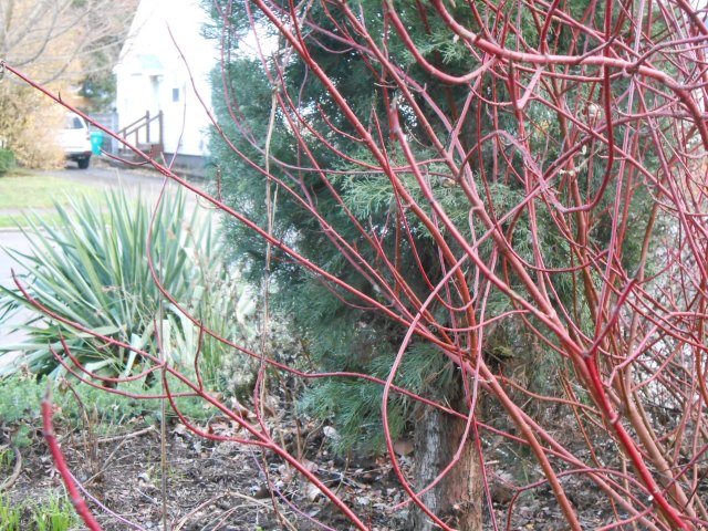 The missing leaves revealed  those ever so attractive red twigs on the Dogwood. The Yucca in the background is probably one of the first plants I planted after moving here. It hasn't failed me yet - rain, shine, or ice.