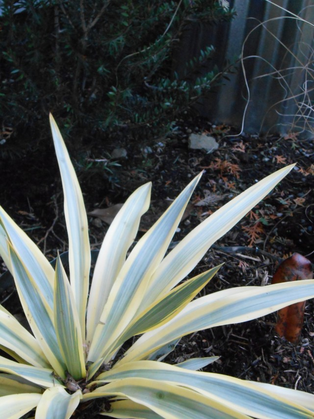 Same with this one, Yucca 'Bright Star' - although it is new for this year, and not yet filled in. Such great color and form, though - I can't wait to see it grow. In the background, my first Calistemon - of the viridiflora variety. Fingers crossed for green blooms!