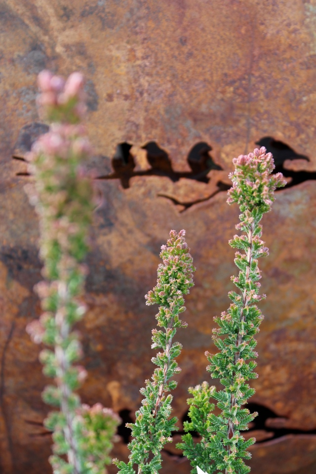Calluna vulgaris 'Firefly' in bud