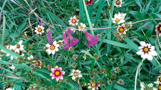 Penstemon and Coreopsis making for a meadow-like feel.