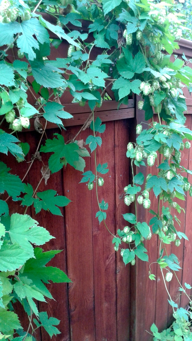 Love how the Hops is draping over the fence.