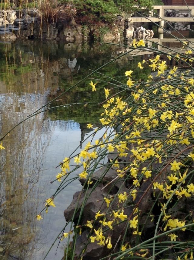 A Winter jasmine cascading over the edge.