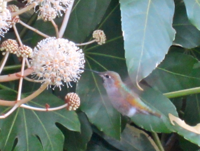 The fuzzy blossoms earlier in fall, visited by a resident hummer!