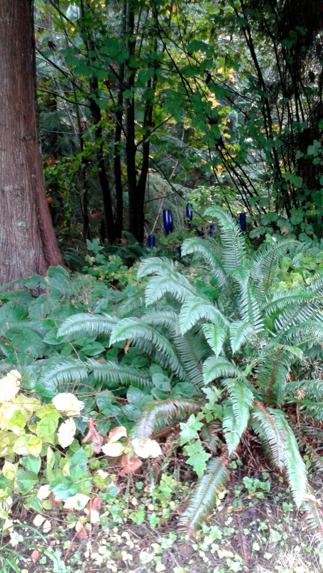 ... with our native sword ferns at the woodland edge.