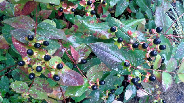 I adore the black fruits of the St. John's wort - they are so decorative!