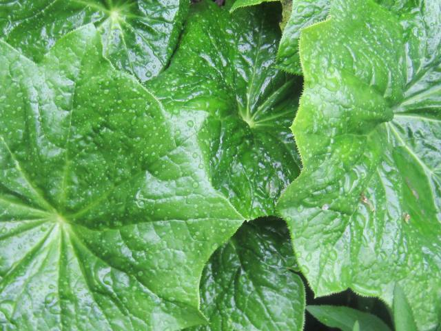 It will eventually have these large, wonderful umbrella-like leaves...