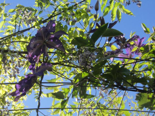 I was trying to find a cost-effective plant support solution, and remembered once using a cattle fencing panel for directing a couple of vines vertically. By now, I have taken out the Wisteria (it got too big, too fast), but the Clematis remains. Not much is more peaceful than looking up into a flowering screen.